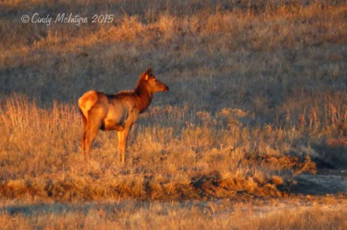 Elk, Wichita Mts. Wildlife Refuge