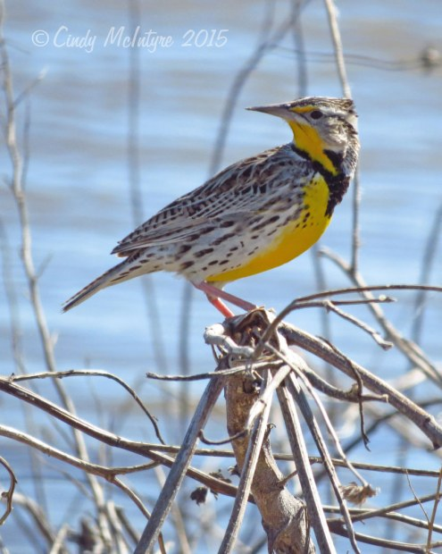 Eastern meadowlark (I think)
