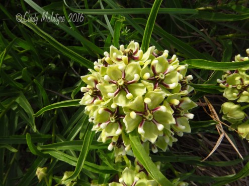Antelope-horns-milkweed,-Wichita-Mts-OK-(1)-copy