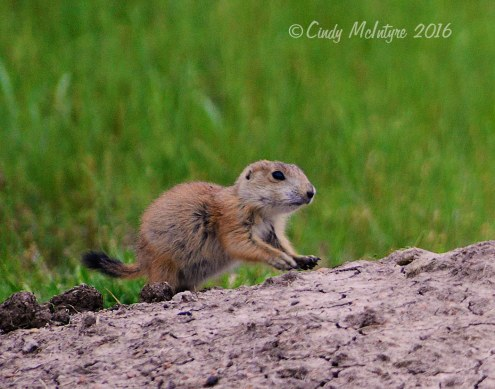 A black-tailed prairie dog pup