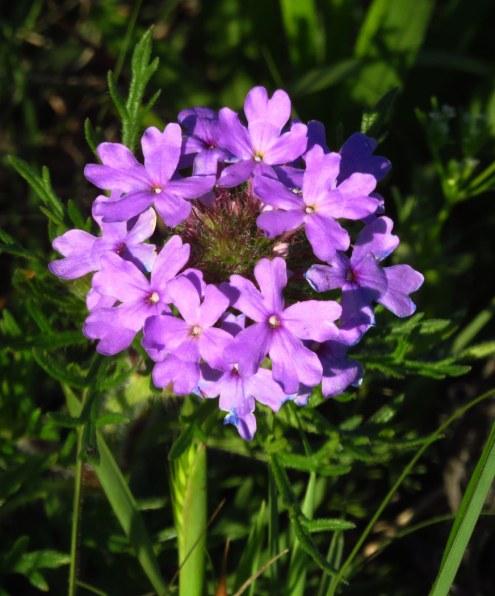 Prairie-verbena-Glandularia-bipinnatifida,-Ft-Sill-OK-(1)-copy