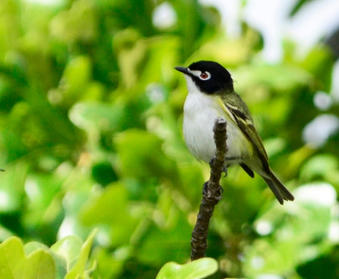 Black-capped vireo male