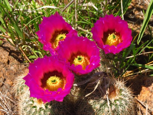 Bailey's barrel cactus