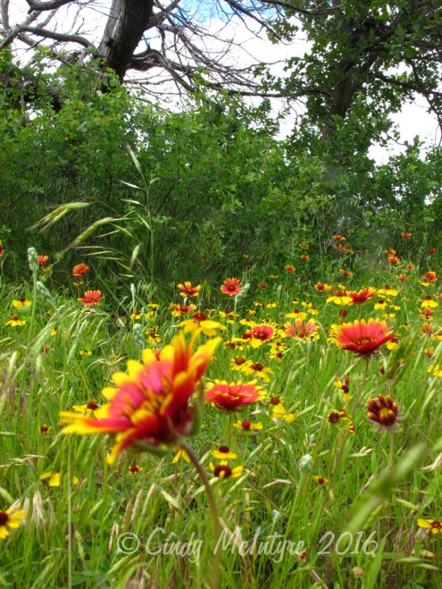 Indian blanket, the Oklahoma state flower