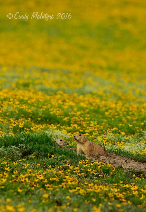 Prairie-dog-town-in-yellow-flowers-(5)-copy-2