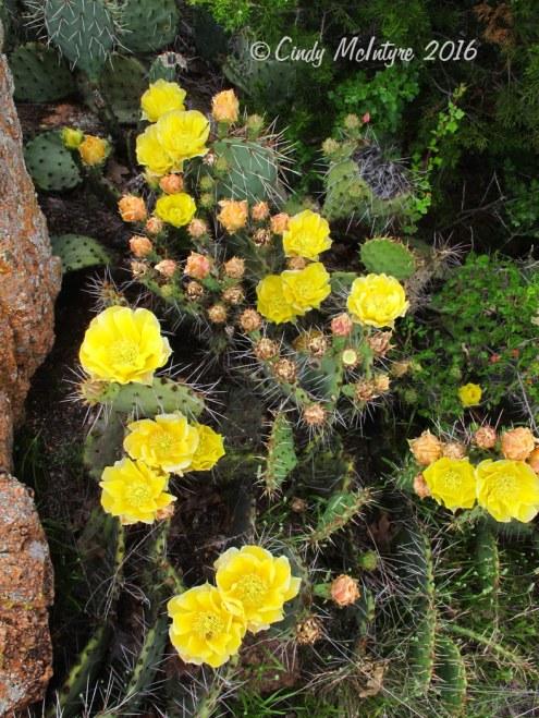 Prickly-pear-flower,-Wichita-Mts-OK-(5)-copy