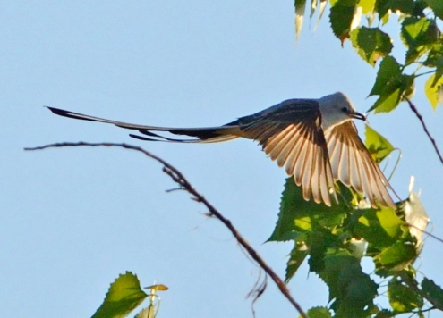 Scissor-tailed flycatcher OK (1)