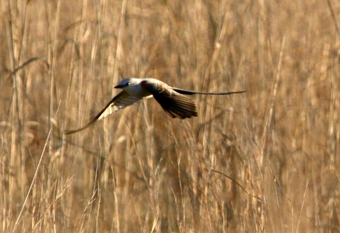 Scissor-tailed flycatcher OK (4)