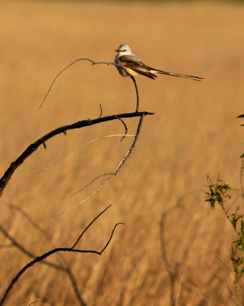 Scissor-tailed flycatcher OK (5)