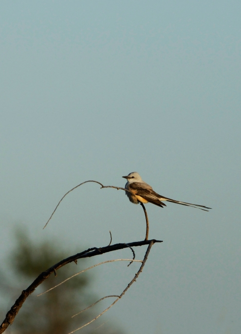 Scissortail flycatcher, Ft Sill OK (2)