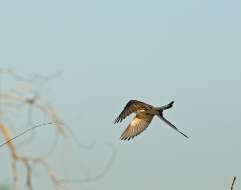 Scissortail flycatcher, Ft Sill OK (6)