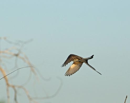 Scissortail flycatcher, Ft Sill OK (6)