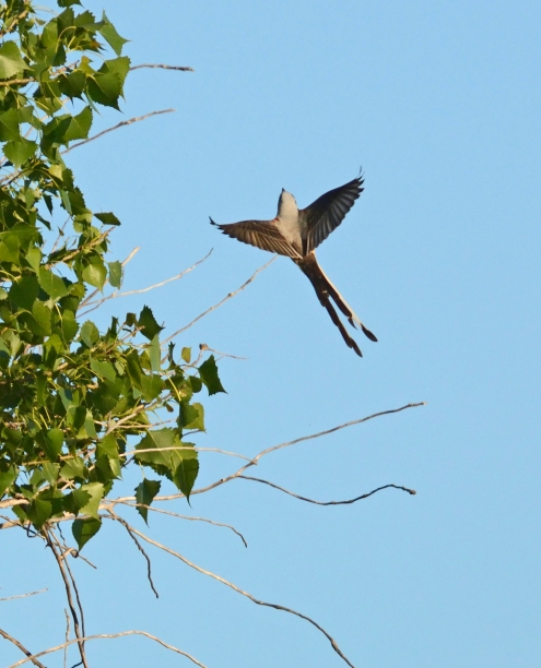 Scissortail flycatcher, Ft Sill OK (7)