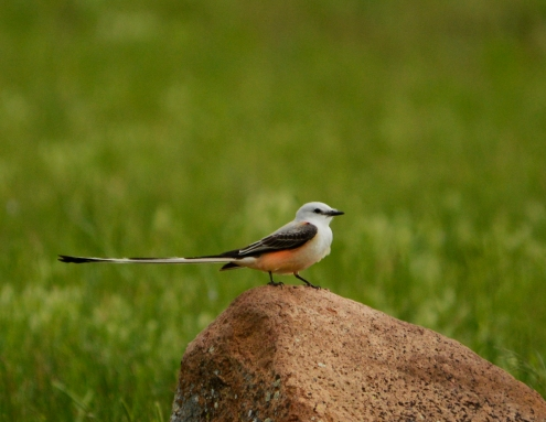 Scissortail flycatcher, Wichita Mts OK (2)