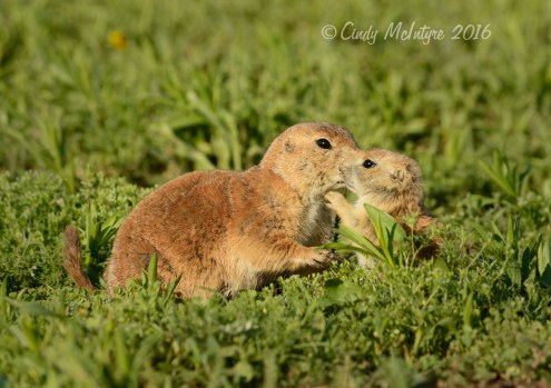 Black-tailed-prairie-dog-pups,-Wichita-Mts-OK-(10)-copy