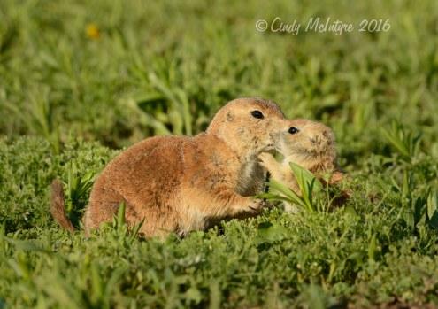Black-tailed-prairie-dog-pups,-Wichita-Mts-OK-(10)-copy