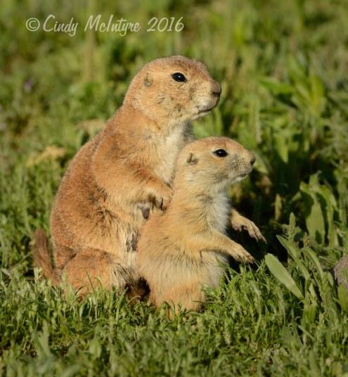 Black-tailed-prairie-dog-pups,-Wichita-Mts-OK-(12)-copy