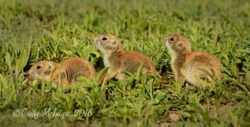Black-tailed-prairie-dog-pups,-Wichita-Mts-OK-(14)-copy