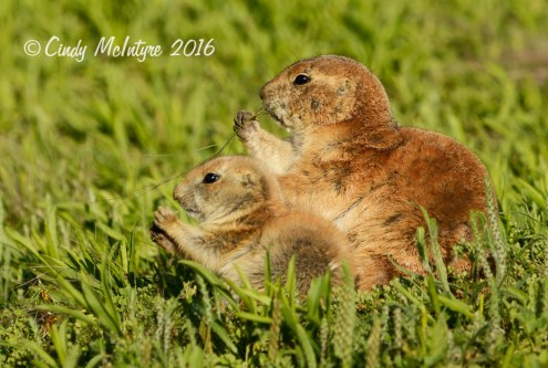 Black-tailed-prairie-dog-pups,-Wichita-Mts-OK-(18)-copy