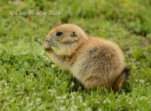 Black-tailed-prairie-dog-pups,-Wichita-Mts-OK-(31)-copy