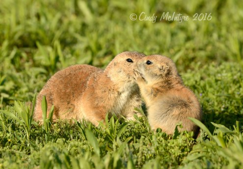 Black-tailed-prairie-dog-pups,-Wichita-Mts-OK-(5)-copy