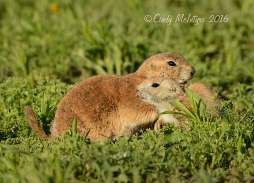 Black-tailed-prairie-dog-pups,-Wichita-Mts-OK-(7)-copy