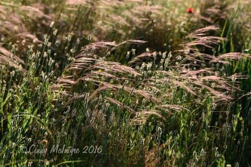 Wild prairie grasses