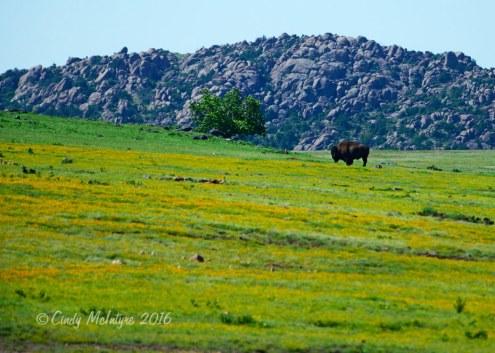 Lone buffalo in a field of gold