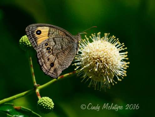 Large Wood Nymph on buttonbush blossom