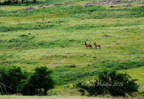 Cow elk and youngster