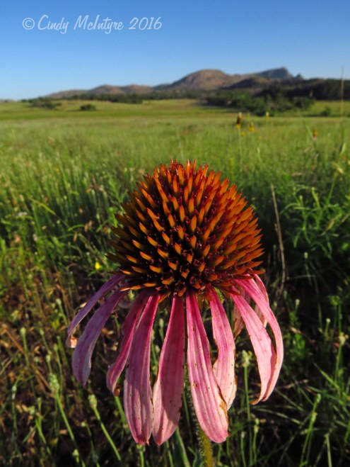 Echinacea, Wichita Mountains Wildlife Refuge