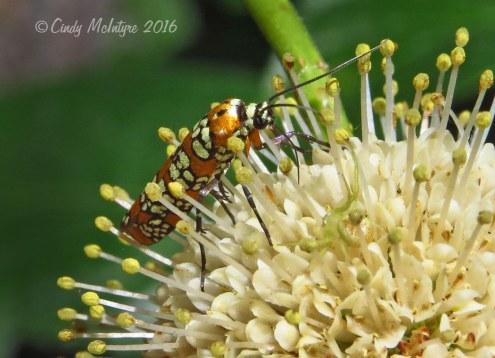 Ailanthus webworm moth on buttonbush blossom