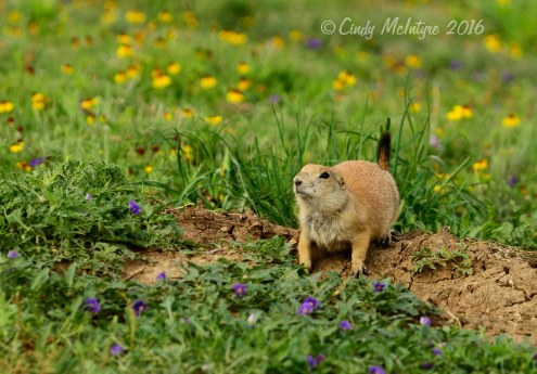 Prairie-dog-town-in-yellow-flowers-(12)-copy