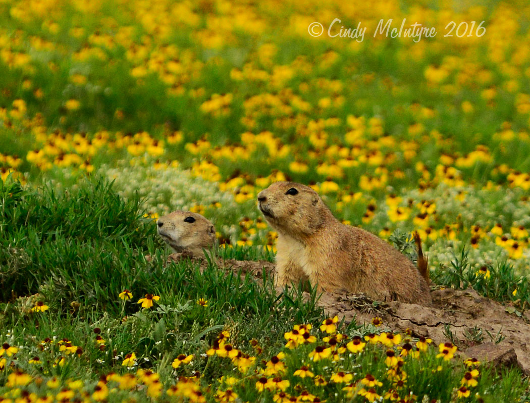 Prairie Dog Town In Yellow Flowers 5 Copy Cindy Mcintyres Blog