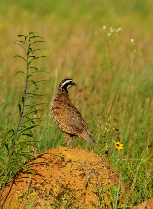 Bobwhite male