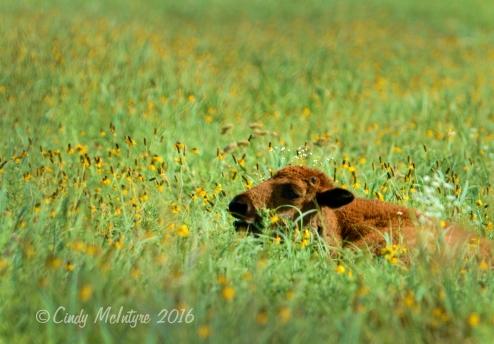 Bison calf resting