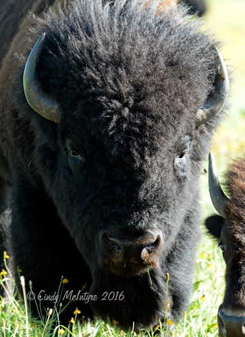 A classic bison bull