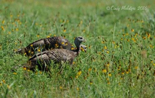 Wild turkey juveniles