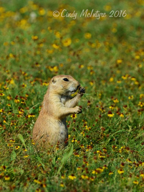 Black-tailed prairie dog in field of sneezeweed