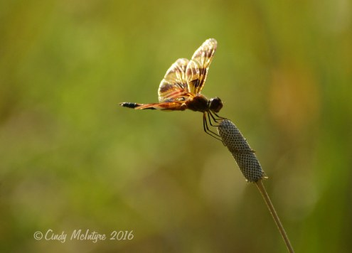 Halloween pennant male