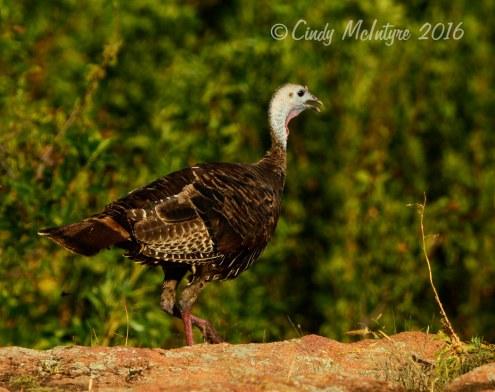 Young wild turkey