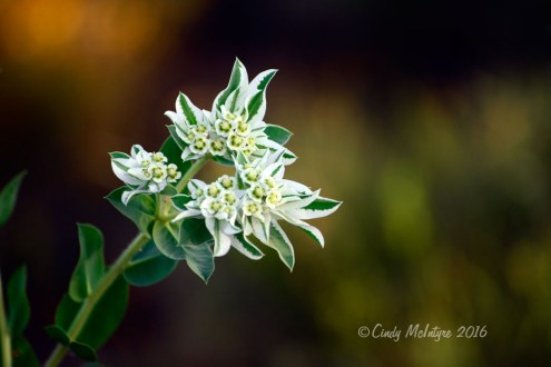 Snow-on-the-Mountain - Euphorbia