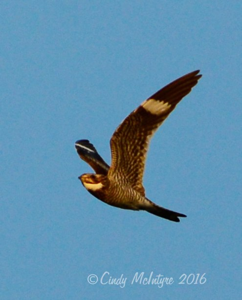 Common nighthawk, Wichita Mountains Wildlife Refuge, Oklahoma