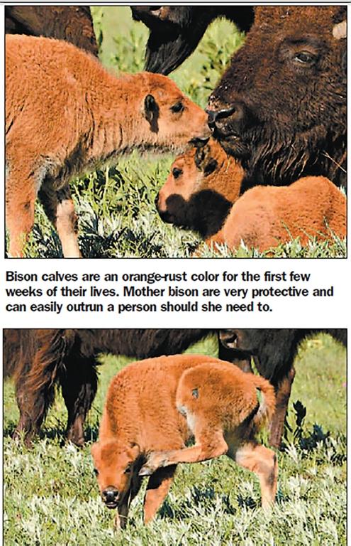buffalo-roam-4