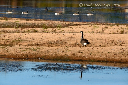 Canada Geese at Lost Lake