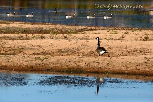 Canada Geese at Lost Lake