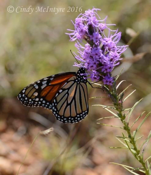 Female monarch on liatris