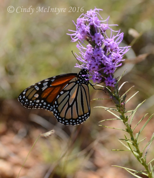 Female monarch on liatris