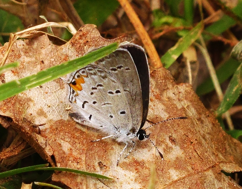 Eastern tailed-blue male