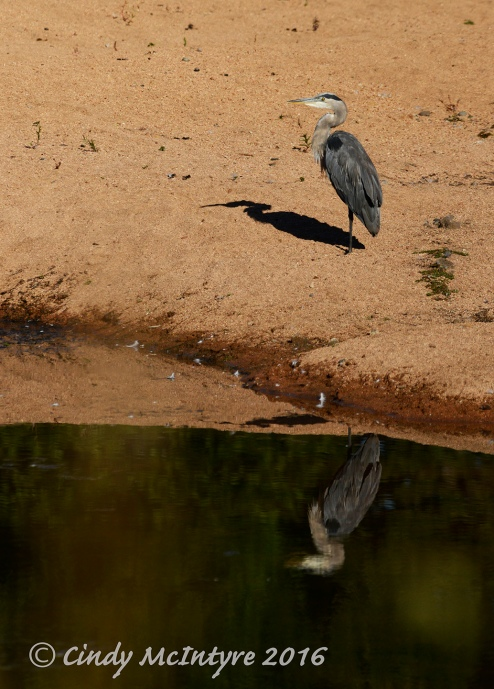 Great Blue Heron at Lost Lake
